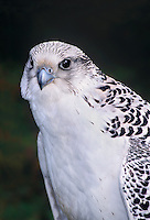 540753013 portrait of a captive white morph gyrfalcon falco rusticolis  bird is a falconer's bird