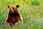 The brown phase of the black bear is known as a cinnamon bear.  Cinnamon bear coats are occasionally grizzled, leading the animals to be mistaken for grizzlies. Experts say you can always tell the difference by the bears' feet.  Black bear claws are short, blunt and dark colored and grizzly claws are much longer and lighter in color.