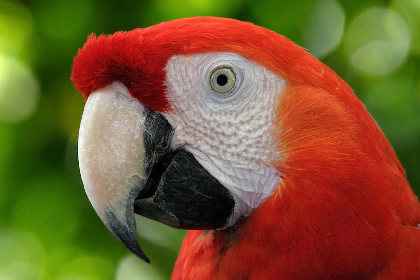 The Scarlet Macaw is extremely intelligent and can be a very talented talker. One of the more colorful of the macaws.