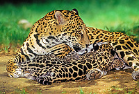 jaguar, Panthera onca, adult, female, mother, nursing cubs
