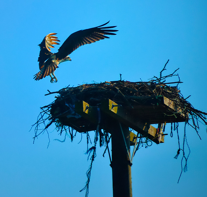 Orient Point Osprey Arrives Home to His Nest on the East Fork of Long Island