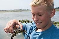 Junge, Kind hält eine Strandkrabbe, Strand-Krabbe, Krabbe, Krebs in der Hand, Gemeine Strandkrabbe, Carcinus maenas, shore crab, shore-crab, shorecrab, European green crab
