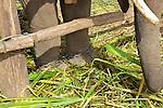Chains On Elephants Feet