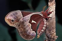 Promethea Moth; Callosamia promethea; female; PA, Philadelphia