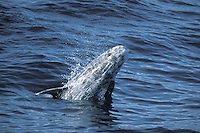 Risso's Dolphin Grampus griseus Length 3-3.5m Large, blunt-nosed and distinctive dolphin. Lives in 'pods' of 3-15 animals. Adult greyish brown overall, darkest on dorsal fin, flippers and tail, and palest on face, throat and belly. Older animals become very pale and upper surface is heavily criss-crossed with white scars. Head is blunt-ended and forehead is split down middle – from upper lip to blowhole - by a deep crease. Dorsal fin is tall, pointed and slightly recurved. Flippers are long and narrow and tail fin is broad.