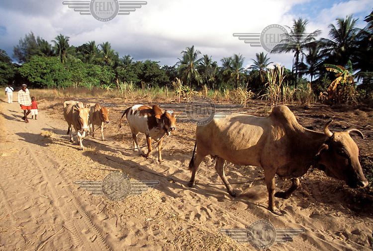 ©Caroline Penn/Panos Pictures..Kenya, Kilifi. Taking cattle to pasture.