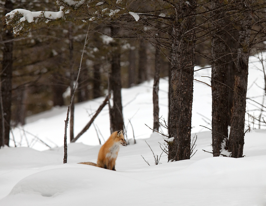 This individual red fox is seen in its natural forest environment during the winter months in Yellowstone National Park.