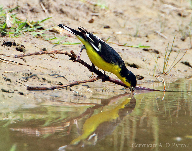 Male lesser goldfinch drinking at pond