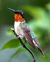 Adult male ruby-throated hummingbird on twig