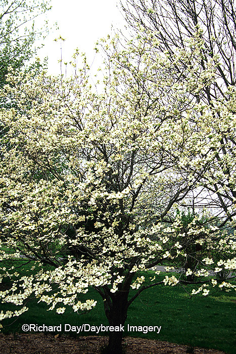 63808-02810 Flowering Dogwood (Cornus florida) in bloom, Marion Co.  IL