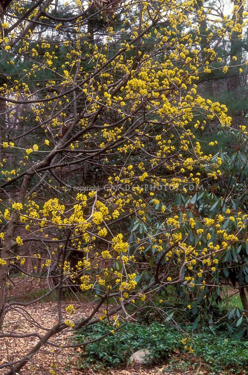 Cornus mas in march flowers plant flower stock photography cornus mas in early spring bloom spring flowering tree shrub fragrant yellow flowers mightylinksfo