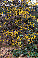 Cornus mas in early spring bloom, spring flowering tree shrub, fragrant yellow flowers