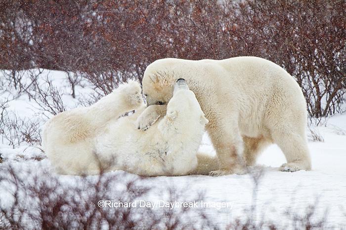01874-12510 Two Polar bears (Ursus maritimus) sparring, Churchill Wildlife Management Area, Churchill, MB Canada