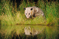 Virginia Opossum (Didelphis virginiana), adult drinking from wetland lake, Fennessey Ranch, Refugio, Coastal Bend, Texas Coast, USA