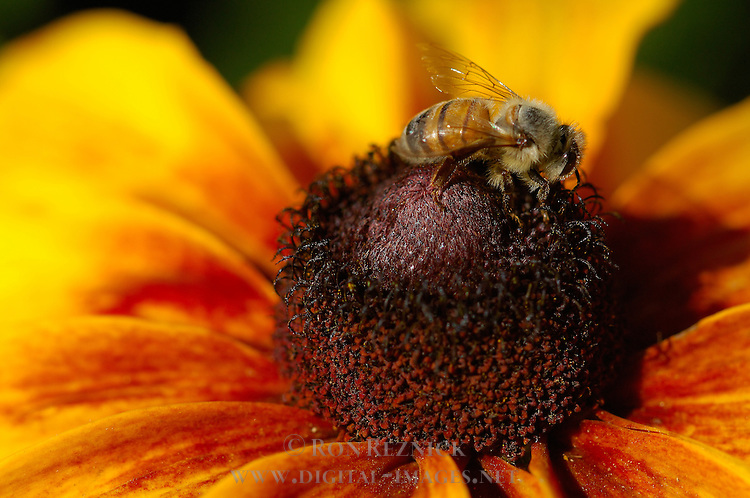 Black-eyed Susan with Bee, Western Honey Bee, Southern California