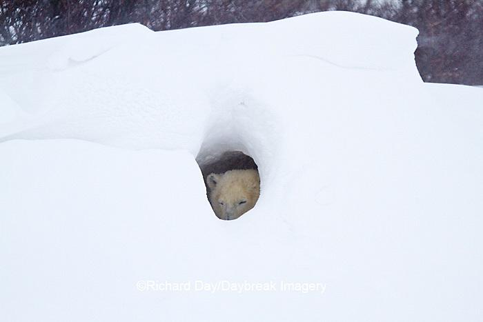 01874-12715 Polar bear (Ursus maritimus) in snow cave in winter, Churchill Wildlife Management Area, Churchill, MB Canada