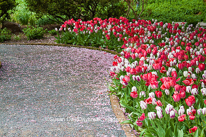 63821-22519 Walkway in spring with tulip border at Chicago Botanic Garden, Glencoe., IL