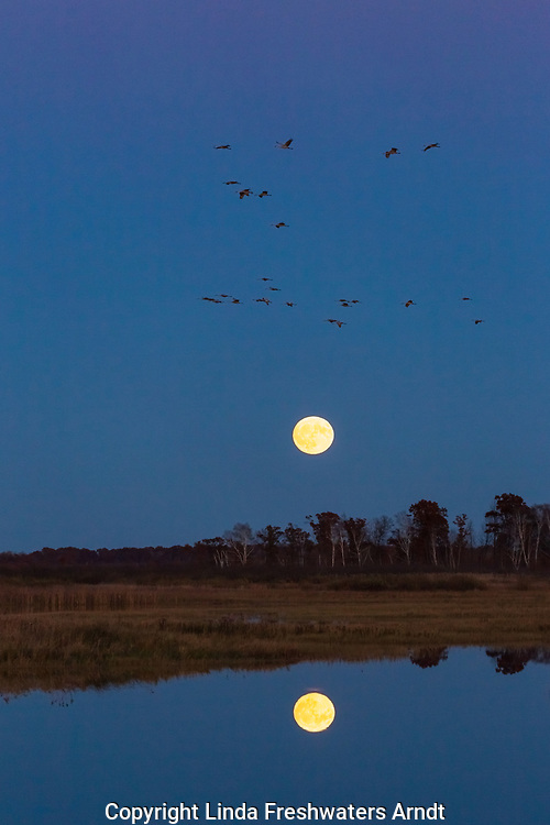 Sandhill cranes flying to roost in Crex Meadows (northwest Wisconsin).