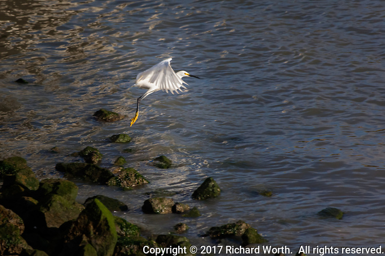 A Snowy egret lifts off from the rocky shore at San Francisco Bay.  Horizontal perspective with room for text.