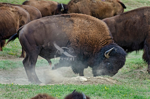 American bison (Bison bison) bull wallowing during summer mating season.  When bulls are wallowing during the summer rut they will often urinate in the wallow as opposed to when they are using the wallow to curb biting flies and insects.