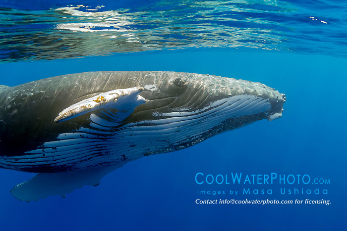 humpback whale, Megaptera novaeangliae, extending pectoral fin to reach out, Hawaii, USA, Pacific Ocean