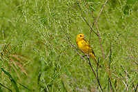 Saffron Finch (Sicalis flaveola) Introduced from South Amarica. Common on the Kona side of the Big Island