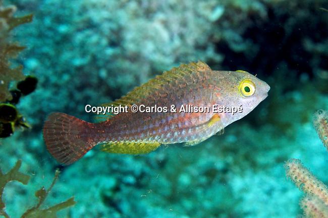 Sparisoma atomarium, Greenblotch parrotfish, FL Keys