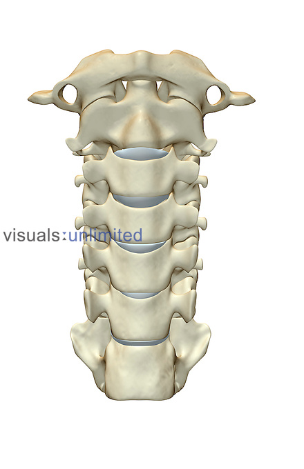 An anterior view of the cervical vertebrae. Royalty Free