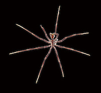 Sea Spider - Nymphon sp.