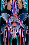 An anterior view of the urinary system and blood supply of the male reproductive organs. The surface anatomy of the body is semi-transparent and tinted turquoise. Royalty Free