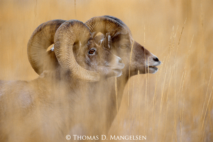 With their attention focused on nearby ewes, a pair of bighorn rams in the Wind River Range in Wyoming checks the air for chemical signals that communicate a willingness to mate.