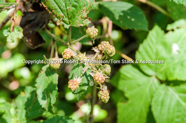 Wild Red Raspberries that have not yet ripened, Plymouth, Massachusetts