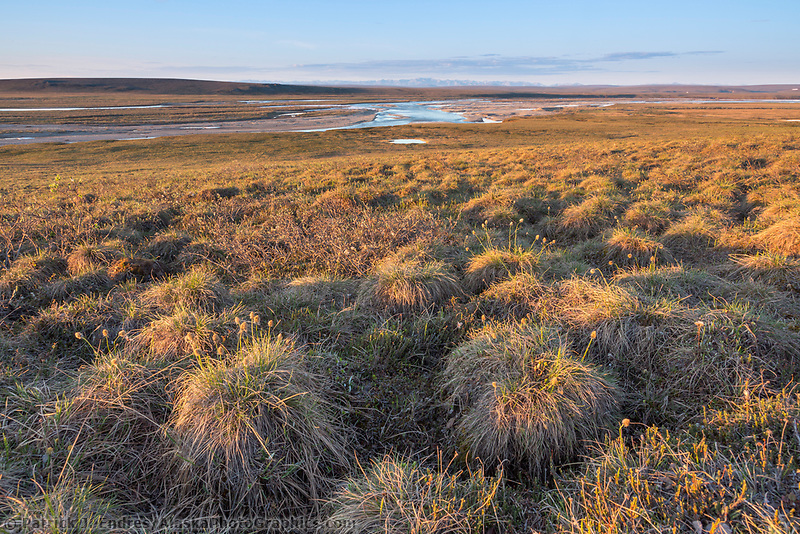 Vegetation grows under the endless Arctic daylight on the tussock filled tundra of Alaska's Arctic. Sag River and Brooks Range mountains in the distance.