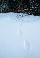 One of the best ways to find lynx is by spotting fresh tracks. In most cases, the cats were long gone when we came across their trails, but in one instance I did find a cat by following these footprints!