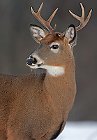 Whitetail Buck Portrait  #D9