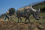 Farmer plowing rice paddy with Water Buffalo, Sapa, Vietnam