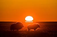 Muskox forage on the tundra at sunset along the arctic coastal plains, arctic, Alaska.