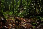 Central American Agouti (Dasyprocta punctata) in tropical rainforest, Mamoni Valley, Panama