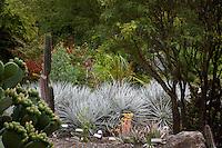 Silver gray foliage bromeliad, Puya - Pitcairnia ferruginea), University of California Botanical Garden at Berkeley, workshop on framing a photogarph