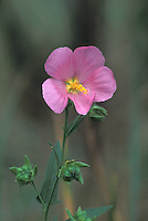 Seashore Mallow; Kosteletzkya virginica; at edge of saltmarsh, NJ