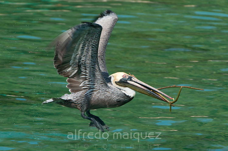 Brown Pelicans (Pelecanus occidentalis carolinensis) collecting small tree branches for nesting. Pacheca Island, Las Perlas Archipelago, Panama province, Panama, Central America.