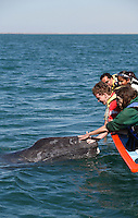 pr5365-D. Gray Whale (Eschrichtius robustus), curious calf approaches boat to accept gentle human touch. San Ignacio Lagoon, Baja, Mexico..Photo Copyright © Brandon Cole. All rights reserved worldwide.  www.brandoncole.com..This photo is NOT free. It is NOT in the public domain. This photo is a Copyrighted Work, registered with the US Copyright Office. .Rights to reproduction of photograph granted only upon payment in full of agreed upon licensing fee. Any use of this photo prior to such payment is an infringement of copyright and punishable by fines up to  $150,000 USD...Brandon Cole.MARINE PHOTOGRAPHY.http://www.brandoncole.com.email: brandoncole@msn.com.4917 N. Boeing Rd..Spokane Valley, WA  99206  USA.tel: 509-535-3489