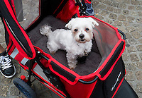 Nederland, Amsterdam, 20 juni  2013<br /> Hondje in kinderwagen.<br /> Foto(c): Michiel Wijnbergh