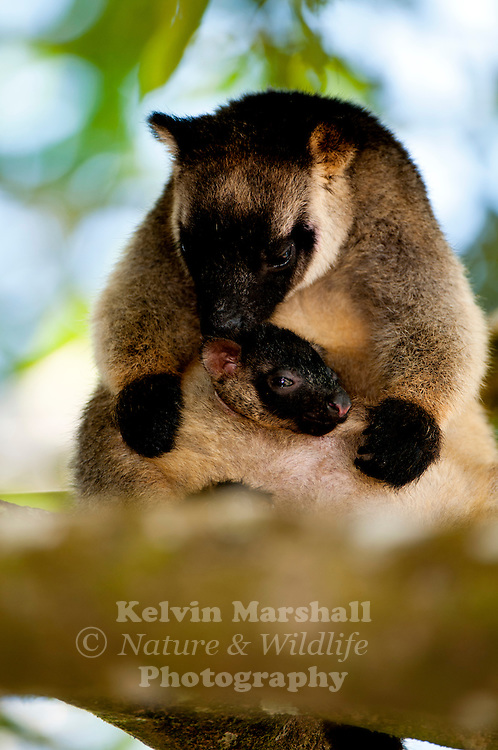 Lumholtz's tree-kangaroo (Dendrolagus lumholtzi) with baby joey is a heavy-bodied tree-kangaroo found in rain forests of the Atherton Tableland Region of Queensland. Its status is classified as least concern by the IUCN, although local authorities classify it as rare. It is named after the Norwegian explorer Carl Sofus Lumholtz. Nerada Tea Plantation, Atherton Tablelands - Far - North Queensland, Australia.