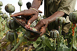 INDIA : OPIUM HARVEST