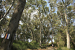 Israel, Sharon region, Eucalyptus trees by Hadera River