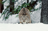 Lynx or Canadian Lynx (Lynx canadensis) stalking--about to pounce.