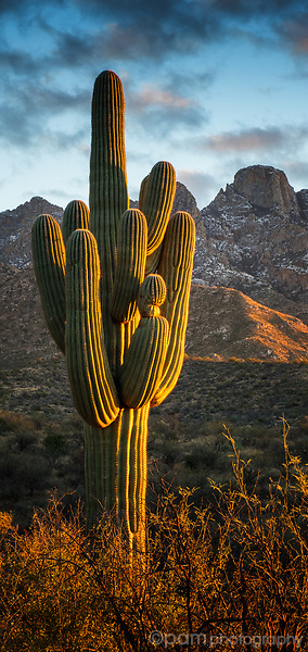 Late afternoon sun hitting a giant Saguaro with the Catalina mountains in the background
