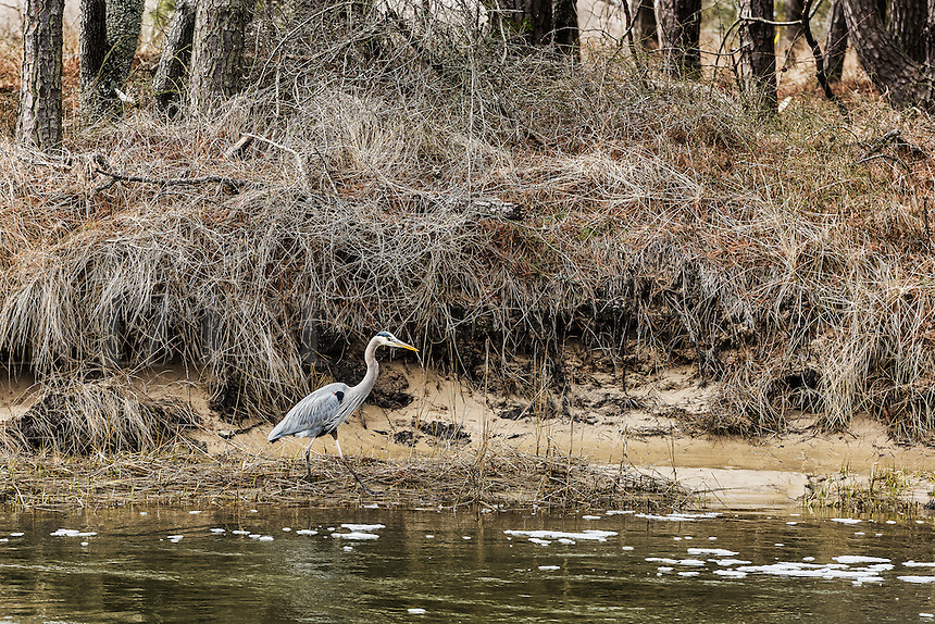 Blue heron, Ardeidae, Chincoteague National Wildlife Refuge, Virginia, USA