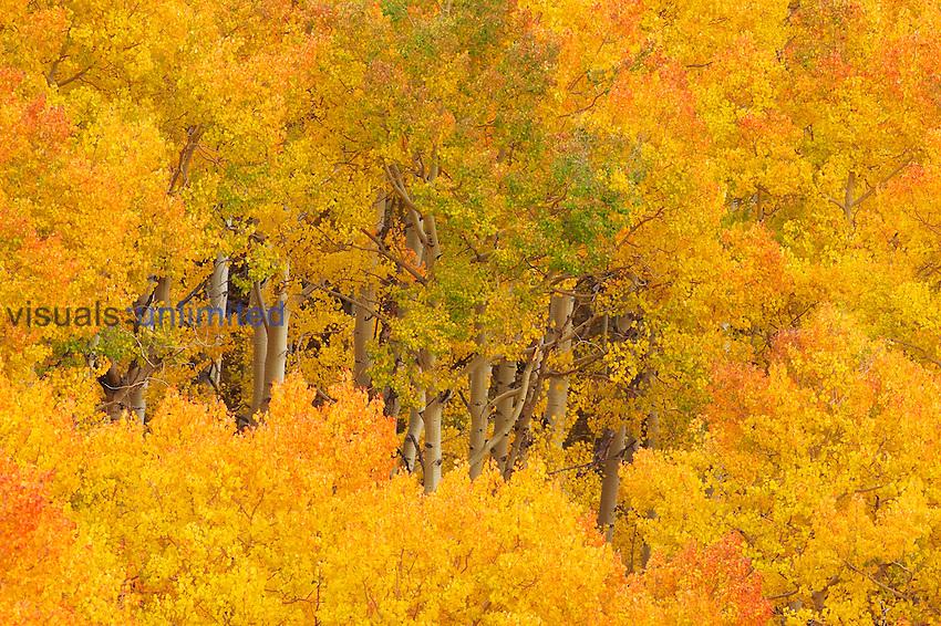 Aspens ,Populus tremuloides, in their autumn glory. Western USA.